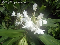 Hedychium coronarium, White Ginger, Butterfly Ginger Lily