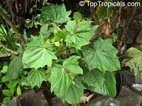 Erato sp., Erato  Click to see full-size image