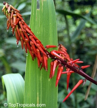 Pitcairnia sp., Bromeliad  Click to see full-size image