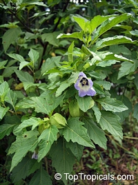 Nicandra physaloides, Shoo-Fly Plant  Click to see full-size image