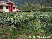 Solanum betaceum, Cyphomandra crassicaulis, Cyphomandra betacea, Pionandra betacea, Solanum crassifolium, Tamarillo, Tree Tomato, Tomate ArbolClick to see full-size image