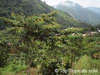 Inga edulis, Inga feuillei, Ice Cream Bean, Inga, Guama, Guaba  Click to see full-size image
