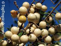 Deinbollia oblongifolia - seedsClick to see full-size image