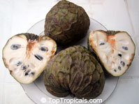 Annona cherimola - seeds  Click to see full-size image