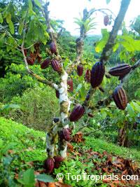 Theobroma cacao, Chocolate Tree, Cacao, Cocoa TreeClick to see full-size image