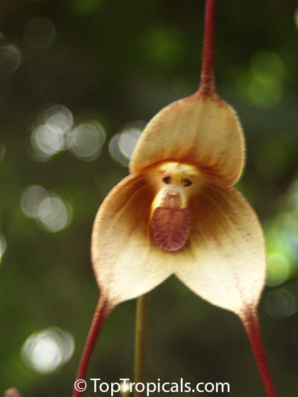 Monkey Orchid Grinning