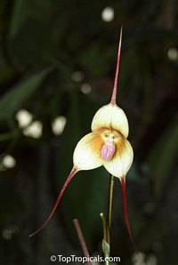 Dracula simia , Monkey Orchid  Click to see full-size image