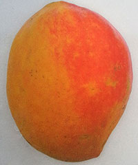 Mangifera indica - Ugly Betty Mango, Grafted  Click to see full-size image
