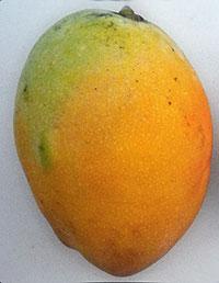 Mangifera indica - Pina Colada Mango, Large size, Grafted  Click to see full-size image