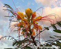 Erythrostemon gilliesii, Caesalpinia gillesii, Poinciana gilliesii, Yellow Bird of Paradise, Yellow dwarf poinciana, Bird of Paradise Bush, Desert Bird of Paradise  Click to see full-size image