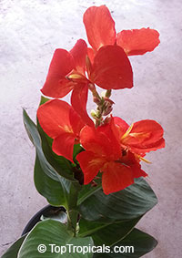 Canna x generalis South Pacific Scarlet