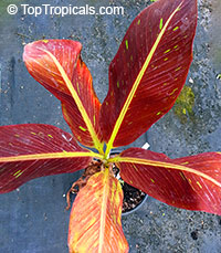 Musa Siam Ruby - Red Leaf Banana  Click to see full-size image