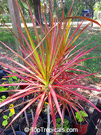 Dracaena marginata Tricolor - Colorama, Money Tree