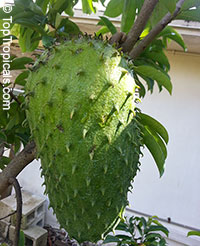 Annona muricata - grafted variety Miami  Click to see full-size image