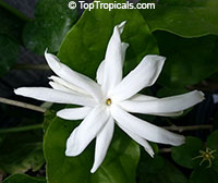 Jasminum sambac Belle of India (var. Elongata), 1 gal pot