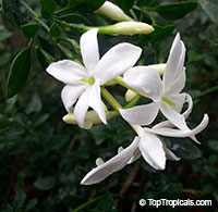 Jasminum - Jasmine Mini, Baby JasmineClick to see full-size image