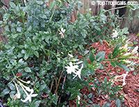 Jasminum sp., Dwarf White Jasmine, Jasmine Mini, Baby Jasmine  Click to see full-size image