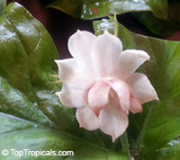Jasminum Mali Chat x Arabian Nights (TopTropicals Rosebud)Click to see full-size image