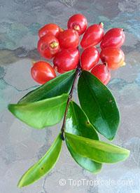 Eugenia reinwardtiana, Beach Cherry, Cedar Bay Cherry  Click to see full-size image