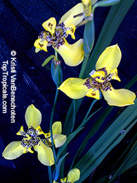 Neomarica longifolia, Trimezia martinicensis, Yellow Walking Iris, Apostle Plant, Martinique trimezia  Click to see full-size image