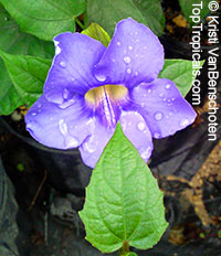 Thunbergia laurifolia, Blue Trumpet Vine, Blue Sky vine, Laurel-leaved thunbergia