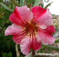 Adenium Lucky in Love (Pon Sawan), Grafted  Click to see full-size image