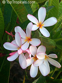 Plumeria obtusa - Dwarf Singapore Pink, grafted   Click to see full-size image