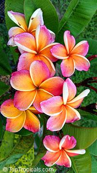 Plumeria P6 (Yellow Siri Mongkol)Click to see full-size image