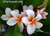 Plumeria Rung Sirichod, grafted  Click to see full-size image
