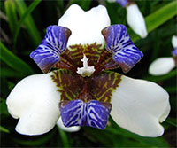 Neomarica gracilis - African Iris  Click to see full-size image