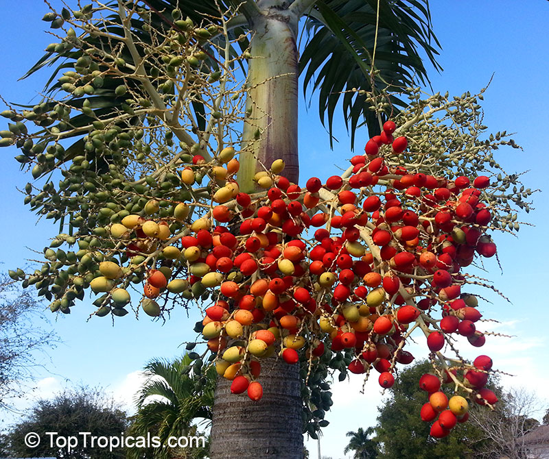 Christmas Palm Tree Seeds.Rare Plants Fragrant Flowers Exotic Fruit