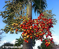 Adonidia (Veitchia) merrilli, Christmas palm - seeds  Click to see full-size image
