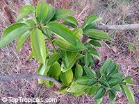 Cinnamomum kotoense, Canela, Cinnamon PlantClick to see full-size image