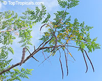 Moringa oleifera - Horseradish tree, PKM1 varietyClick to see full-size image