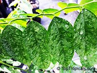 Sauropus androgynus, Katuk, Star Gooseberry, Sweet Leaf, Tropical Asparagus, Chang Kok, ManisClick to see full-size image