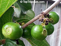 Vangueria infausta - seeds