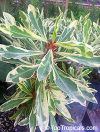Euphorbia millii - Exotic Thai Candyland (variegated leaves)  Click to see full-size image