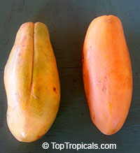 Carica papaya - Red Vietnam, Dwarf Papaya - with express shipping  Click to see full-size image