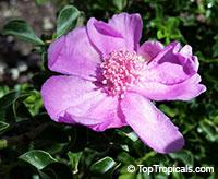 Pereskia portulacifolia, Pink Rose Cactus  Click to see full-size image