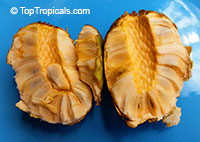 Annona sp. - Golden Sugar Apple, Pineapple Annona  Click to see full-size image