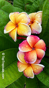Plumeria Orange KLS, grafted  Click to see full-size image