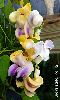 Vigna caracalla (Phaseolus caracalla) - Fragrant Snail vine  Click to see full-size image