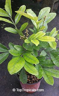 Deinbollia oblongifolia, Dune Soapberry  Click to see full-size image