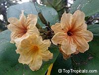 Cordia subcordata, Mareer, Manjak, Kerosene Tree, Snottygobbles, Glueberry, Kou WoodClick to see full-size image