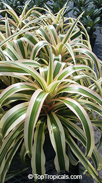 Ananas Ivory Coast - Variegated Pineapple