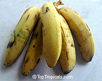 Musa - Banana Williams