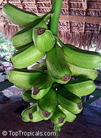 Musa - Plantain x Banana - Hua Moa  Click to see full-size image