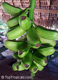 Musa balbisiana Atia Black - seeds  Click to see full-size image