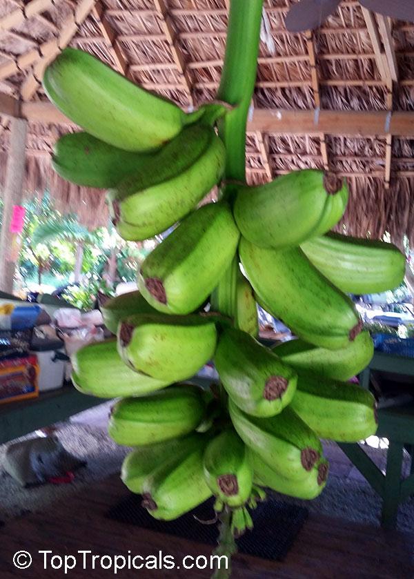 Waste banana plant musa sp trunks