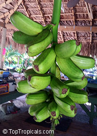 Musa - (Super) Plantain Giant 